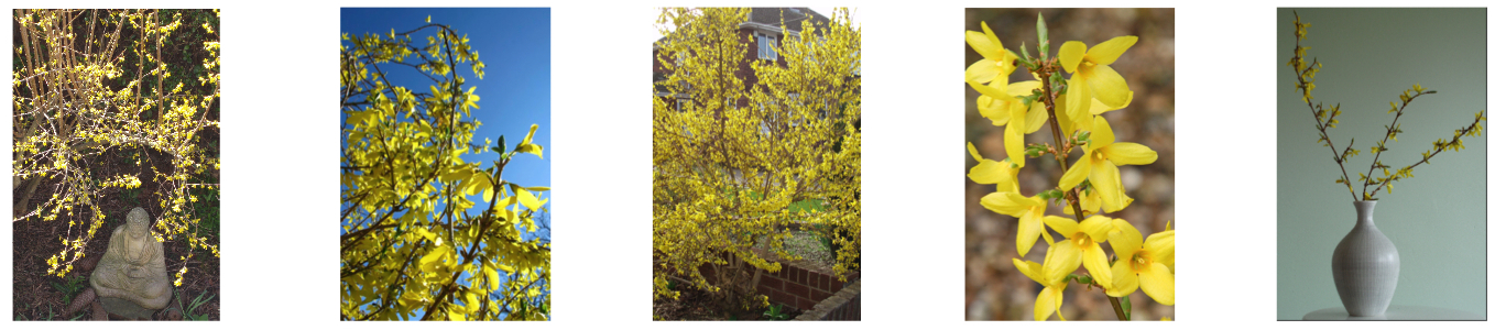 Bang! – the Forsythia has exploded – Spring is here!